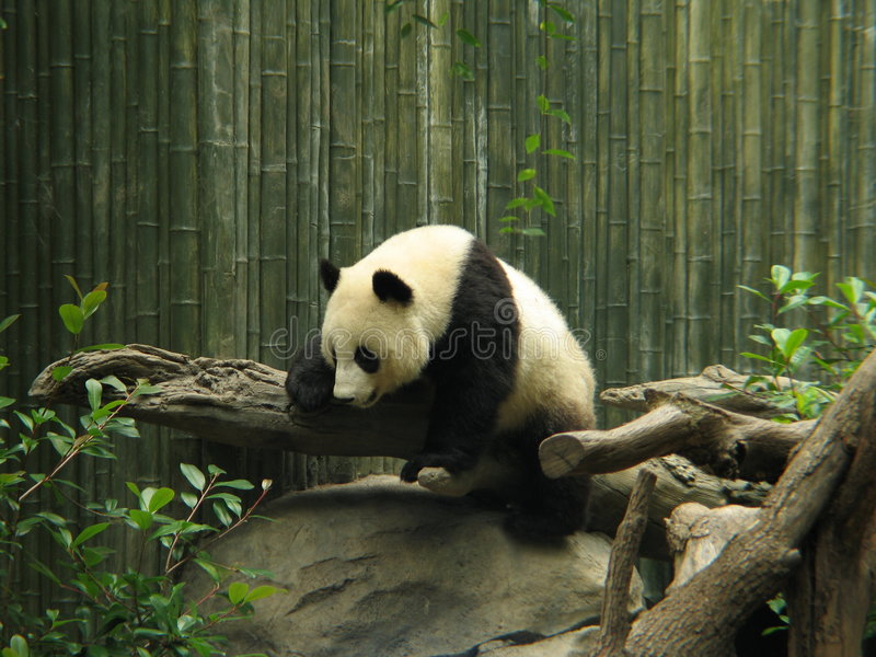 панда медведя стоковое фото rf