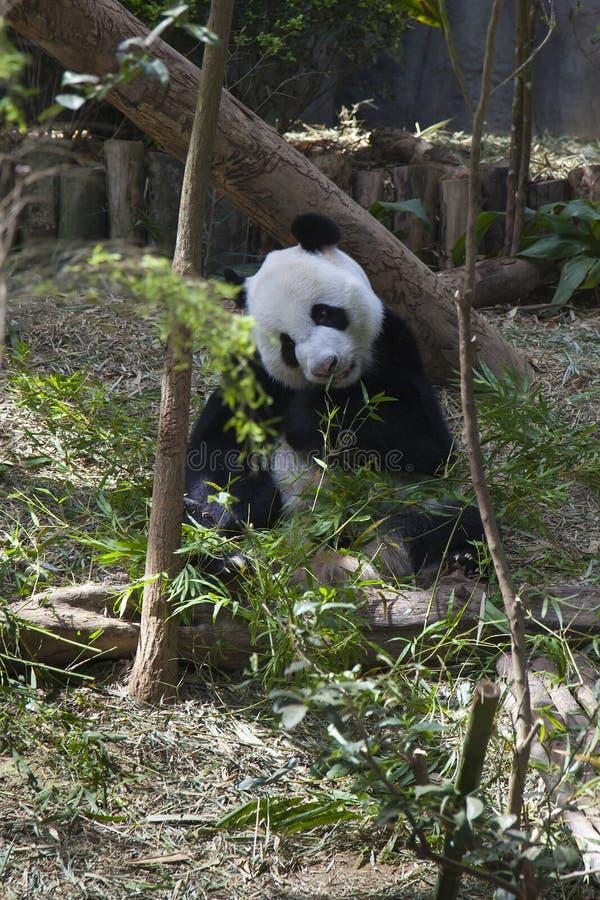 Панда распологая на землю и есть тросточку стоковые фото