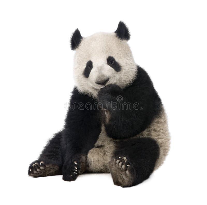панда 18 месяцев melanoleuca ailuropoda гигантская стоковые изображения