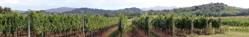 Панорама виноградника стоковое фото rf