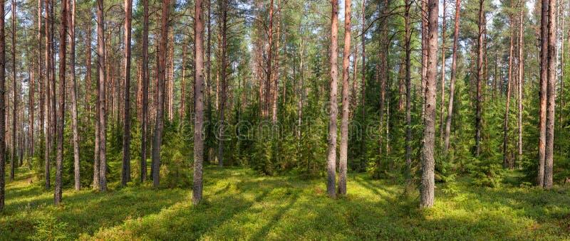 Панорама леса ели лета стоковое изображение