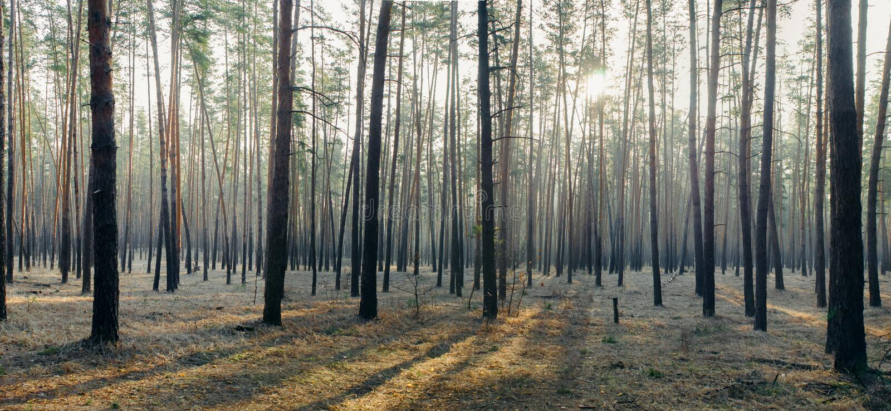 Панорама леса утра стоковая фотография