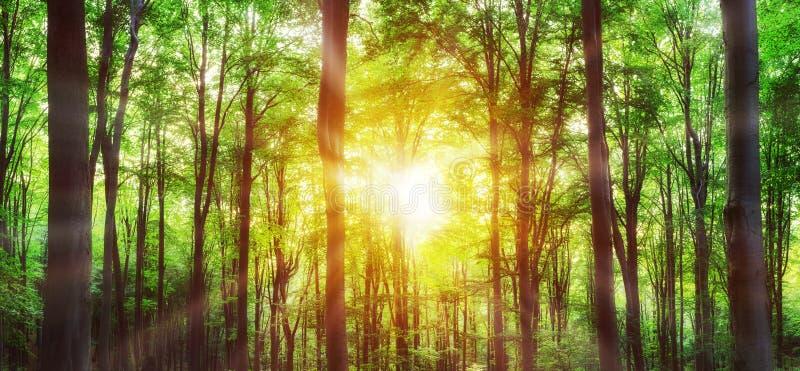 Панорама зеленого леса горы с солнечным светом через стоковые изображения rf
