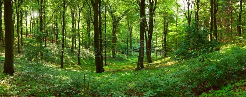 панорама зеленого цвета пущи стоковые фотографии rf