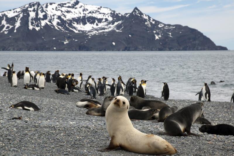 Панорама пляжа с антартическими морскими котиками и пингвинами стоковое фото