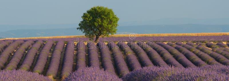 Панорама поля лаванды стоковая фотография