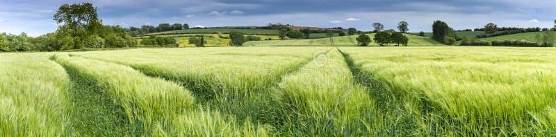 Панорама пшеничного поля весной стоковые фото