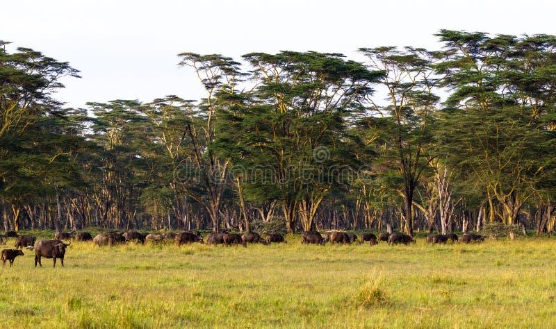 Панорама саванны Ландшафт с буйволом Nakuru, Кения стоковая фотография rf