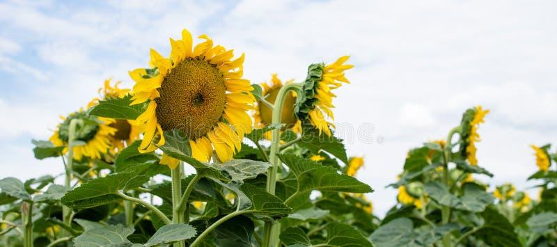 Панорама солнцецветов стоковое изображение