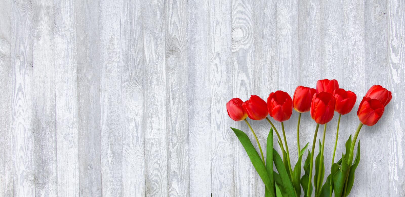 Панорамная предпосылка весны с красными цветками тюльпана стоковые фото