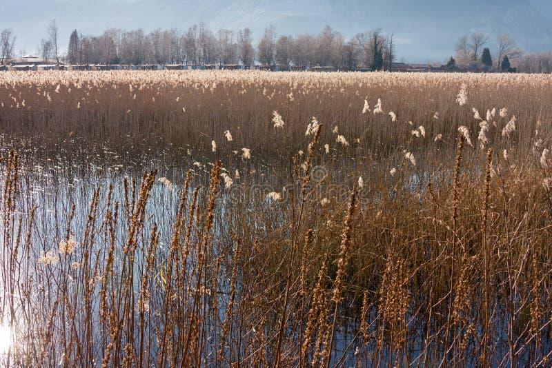 Панорамный взгляд болотистой области озера, с тростниками в стоковая фотография rf