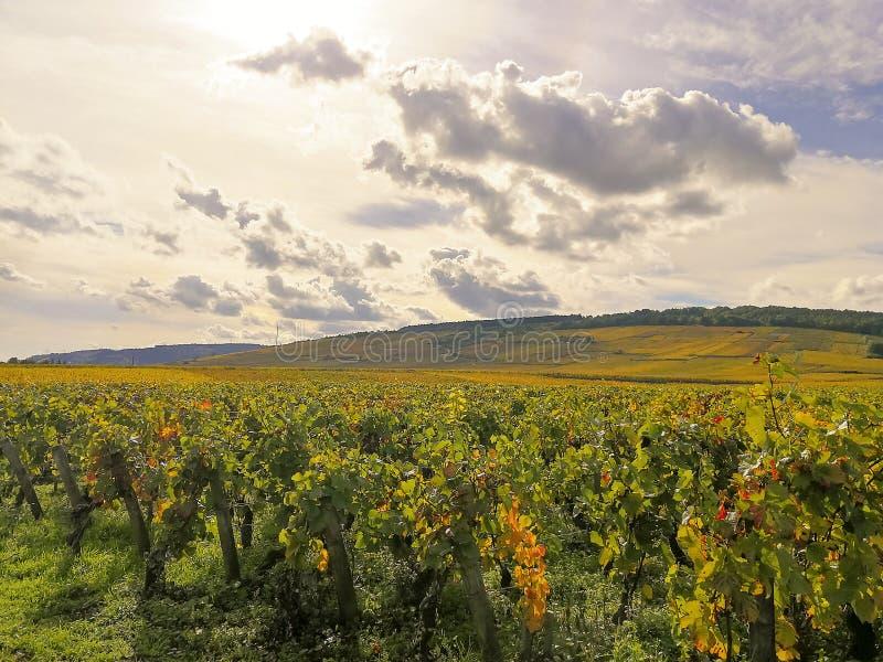 Панорамный взгляд виноградины fields в осени на холмах в бургундской Франции стоковые фото