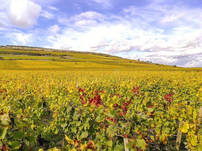 Панорамный взгляд виноградины fields в осени на холмах в бургундской Франции стоковое фото rf