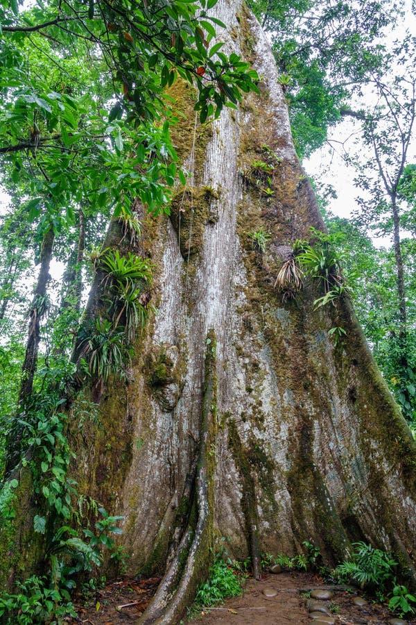 Панорамный взгляд огромного дерева в лесе стоковое изображение rf