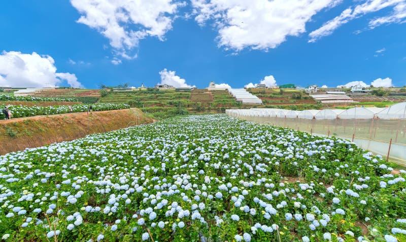 Панорамный взгляд поля цветков гортензии увиденных сверху стоковое изображение rf