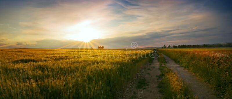 Панорамный взгляд захода солнца на поле пшеницы стоковое фото rf