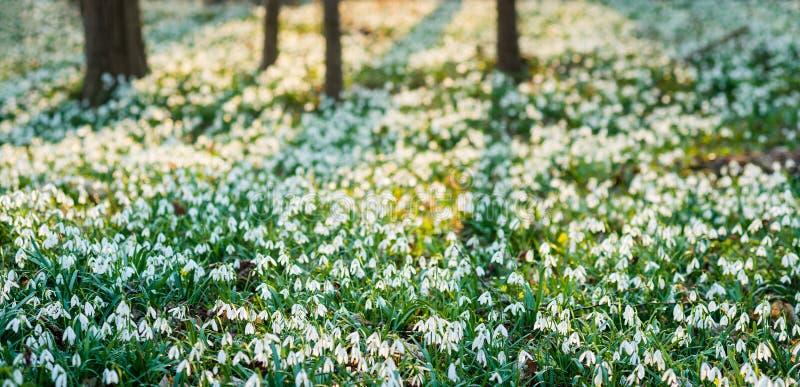 Панорамный взгляд sunlit леса вполне snowdrop цветет весной сезон стоковые изображения