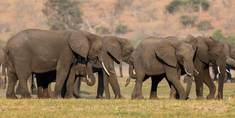 Панорамный семьи слонов стоковые фотографии rf