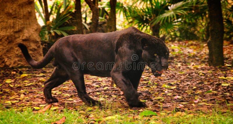 Пантера в лесе стоковые фотографии rf