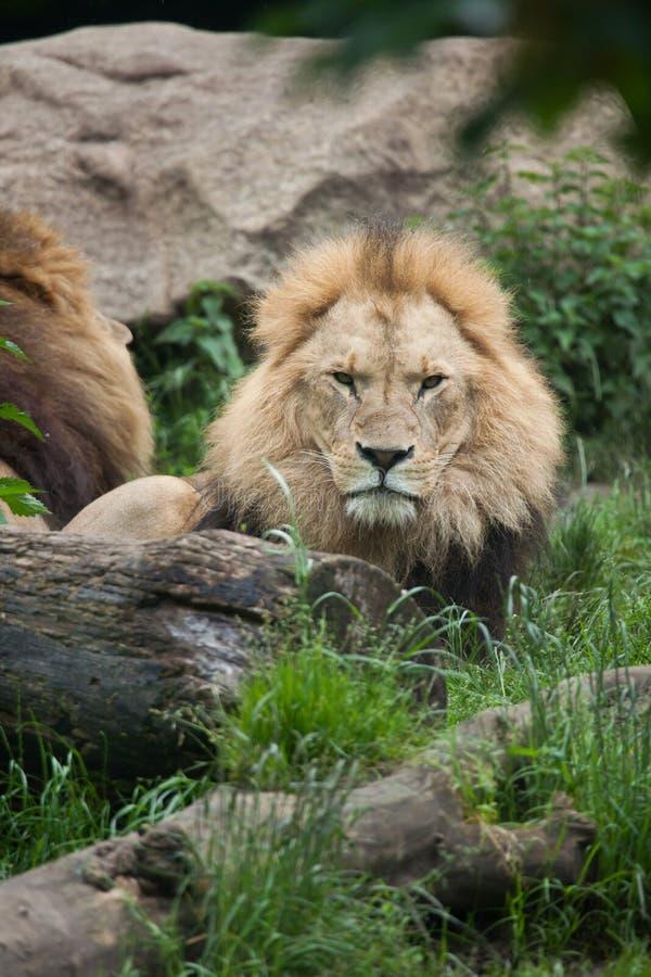 Download Пантера leo льва стоковое изображение. изображение насчитывающей естественно - 81810293