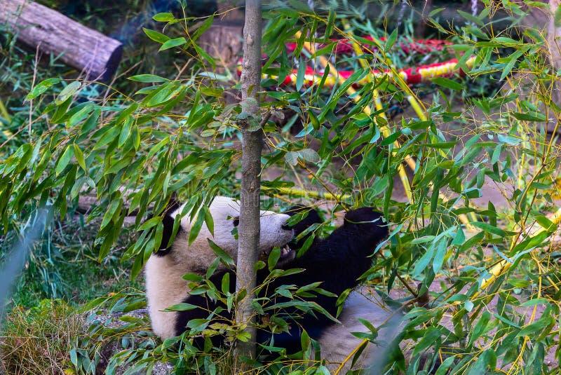 Панда в Schönbrunn-зоопарке, вене стоковое изображение