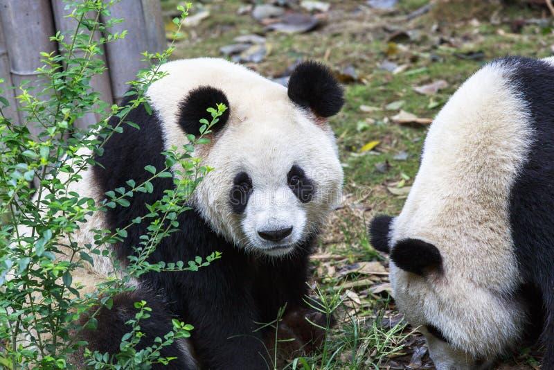 Панда на зоопарке в Чэнду, Китае стоковое изображение rf