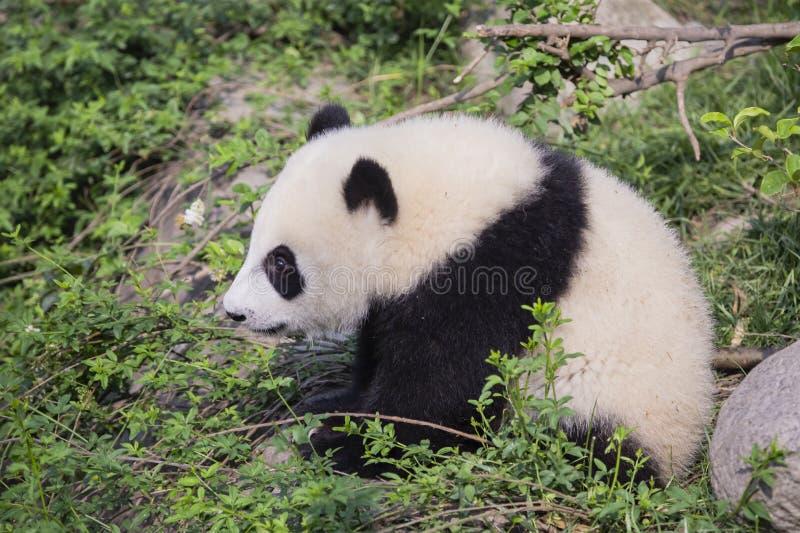 Панда очень молодого младенца гигантская сидя утесом стоковая фотография