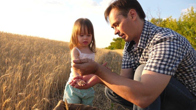 Папа agronomist и небольшой ребенок играет с зерном в сумке на пшеничном поле фермер отца играет с меньшим сыном стоковое изображение rf