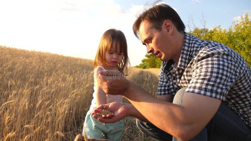 Папа agronomist и небольшой ребенок играет с зерном в сумке на пшеничном поле фермер отца играет с меньшим сыном стоковые фото