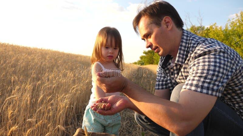 Папа agronomist и небольшой ребенок играет с зерном в сумке на пшеничном поле фермер отца играет с меньшим сыном стоковое фото