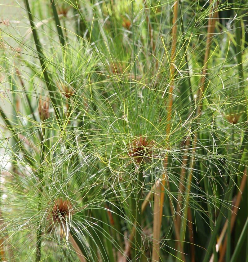Download Папирус завода в японском саде Стоковое Фото - изображение насчитывающей рост, озеро: 41652686