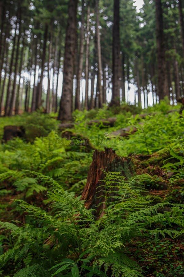 Папоротники и сосны в высокорослом старом и одичалом европейском лесе стоковые фотографии rf