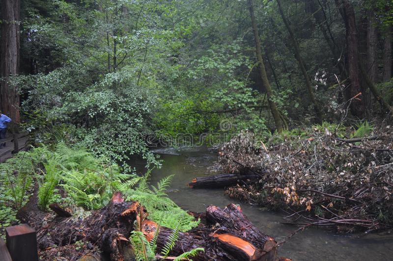 Папоротники леса около потока стоковое фото