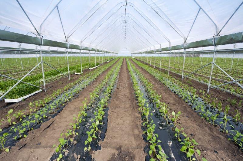 Download Паприка в парнике стоковое изображение. изображение насчитывающей farming - 41663107