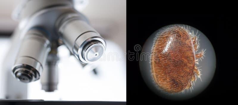 Паразит пчелы деструктора Varroa стоковое фото rf