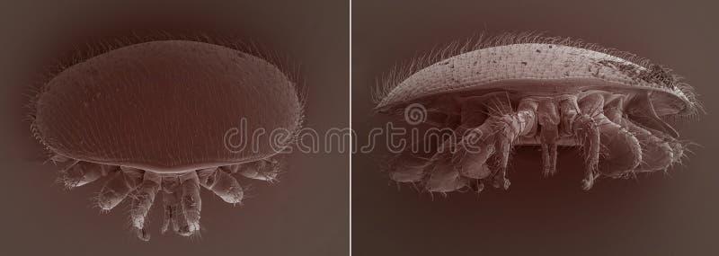 Паразит пчелы деструктора Varroa стоковые фотографии rf