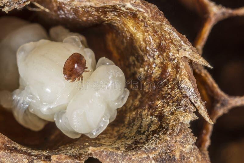 Паразит пчелы деструктора Varroa стоковые изображения rf
