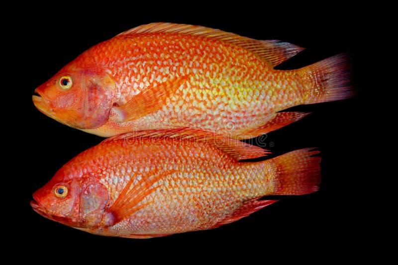 Пара азиатской ярко-оранжевой красной тилапии стоковое фото rf