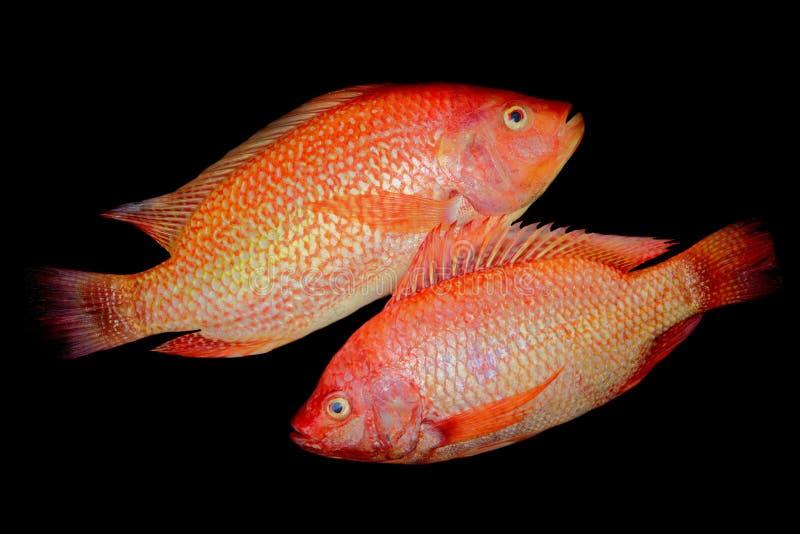 Пара азиатской ярко-оранжевой красноцветной тилапии стоковые изображения