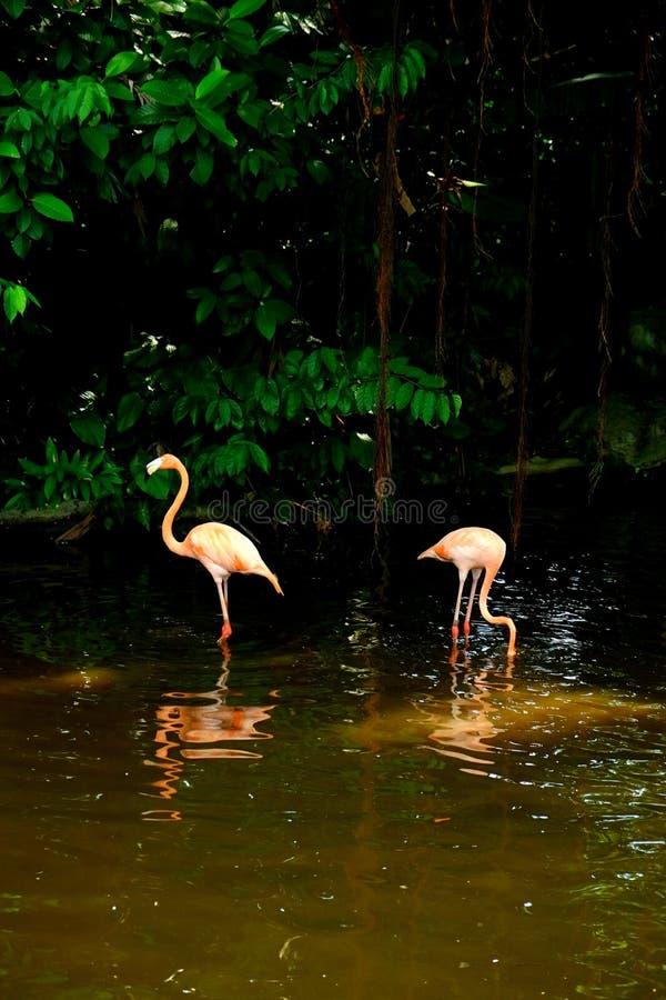Пара американских фламинго стоковые фотографии rf