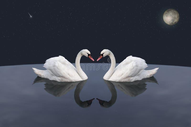 Пара белых лебедей в космическом озере стоковое изображение rf