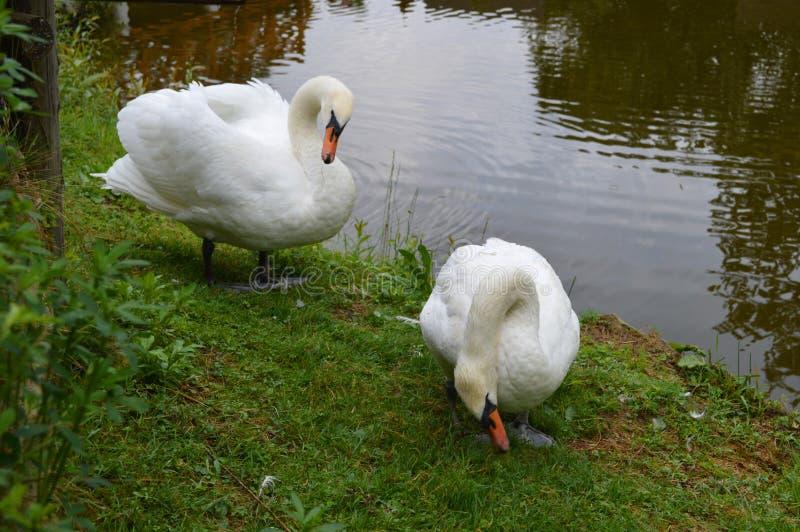 Пара белых лебедей, около пруда стоковая фотография