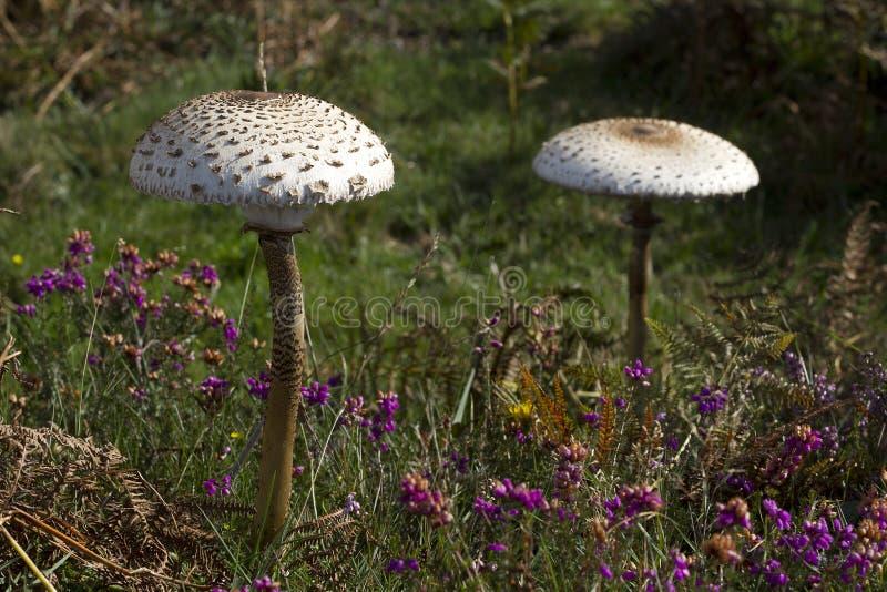 Пара больших грибов парасоля в heathland стоковая фотография rf
