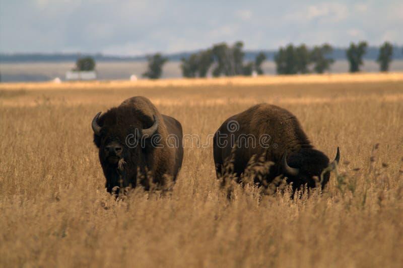 Пара буйвола в американских прериях стоковая фотография