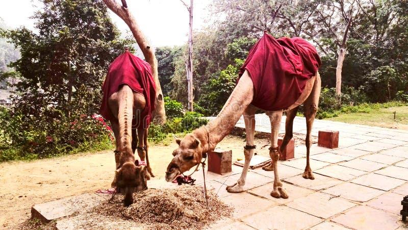 Пара верблюда стоковая фотография rf