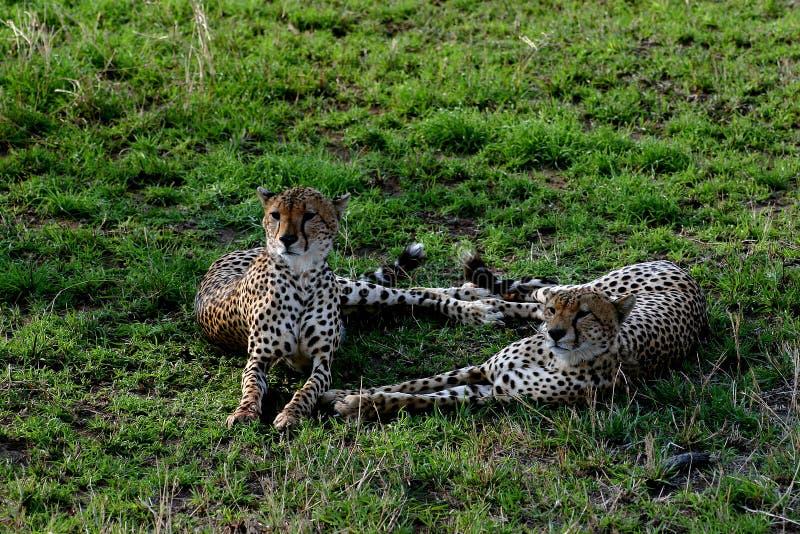 Пара гепардов стоковые фотографии rf