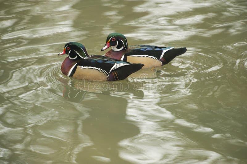 Пара деревянной утки плавает в воде стоковые фотографии rf