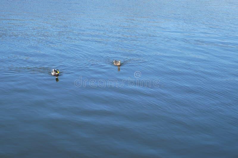 Пара дикой утки плавает на поверхность воды стоковая фотография rf