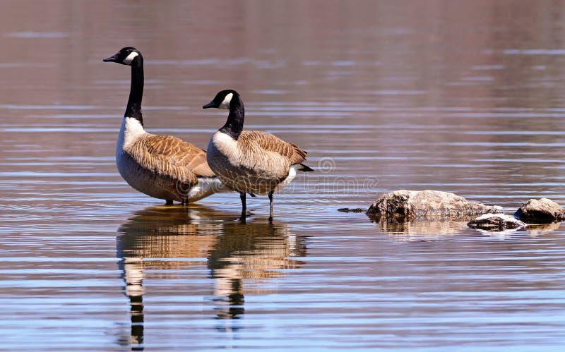 Канадские гусыни wading в озере стоковые изображения
