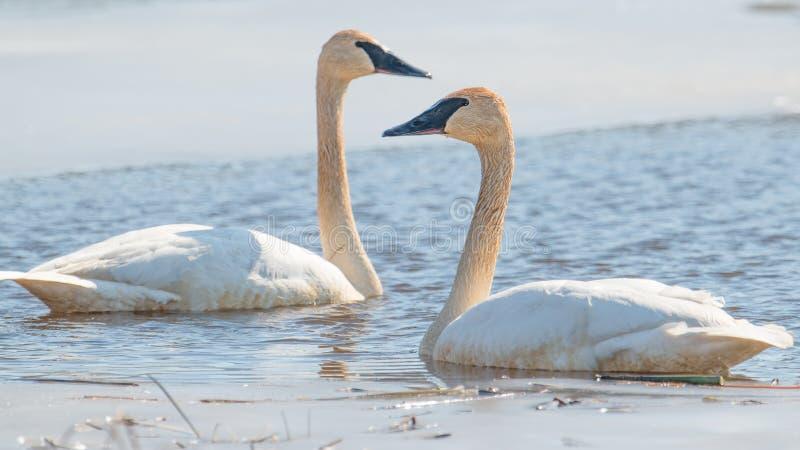 Пара лебедей трубача на красивая солнечная весна/последний зимний день - принятые в зону живой природы лугов Crex в северном Wisc стоковая фотография